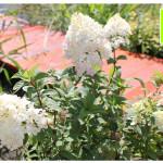 photo-florini2013-07-35-гортензия-ванила-фрай