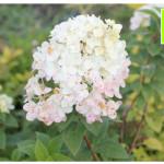 photo-florini2013-07-61-гортензия-ванила-фрай