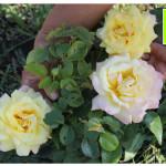 photo-florini2013-08-02-роза