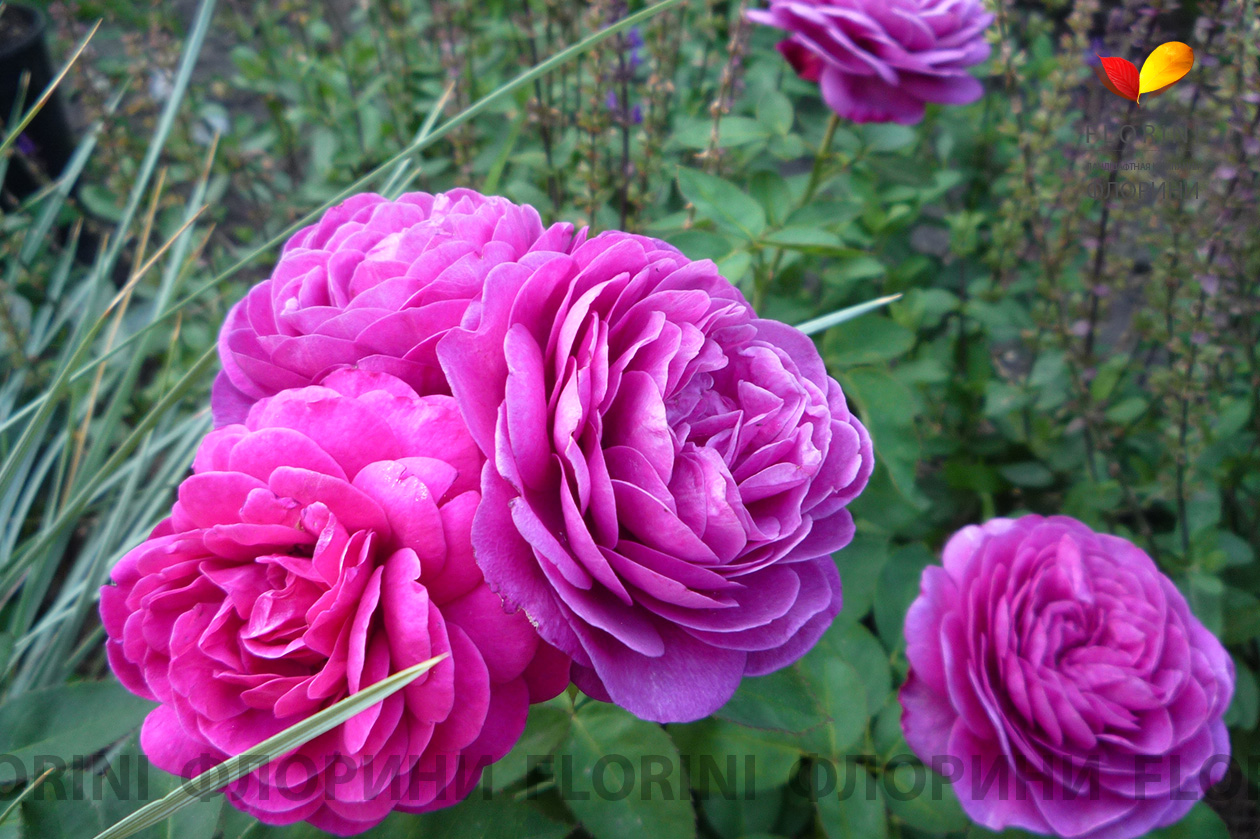 Роза хайди клум фото и описание