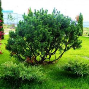 Сосна горная<br>Pinus mugo