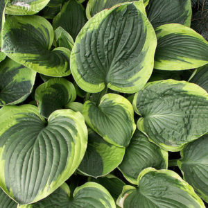 Хоста Абиква Мунбен <br>Hosta Abiqua Moonbeam