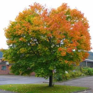 Клен остролистный <br>Acer platanoides