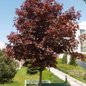 Клен остролистный Кримсон Центри <br>Acer platanoides Crimson Sentry