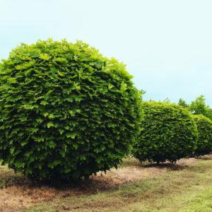 Клен остролистный куст Глобозум <br>Acer platanoides Globosum