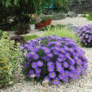 Астра альпийская Виолет<br>Aster alpinus Violet