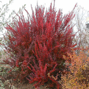 Барбарис тунберга Ред Рокет <br>Berberis thunbergii Red-Rocket