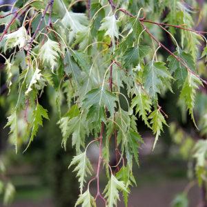 Береза Далекарлийская Betula dalecarlica