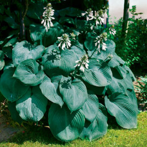 Хоста Биг Дадди<br>Hosta Big Daddy