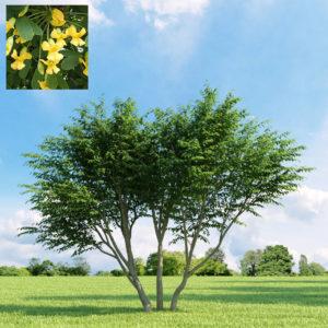 Акация желтая <br>Caragana arborescens