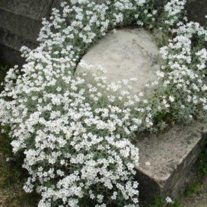 Ясколка войлочная <br>Cerastium tomentosum columnae