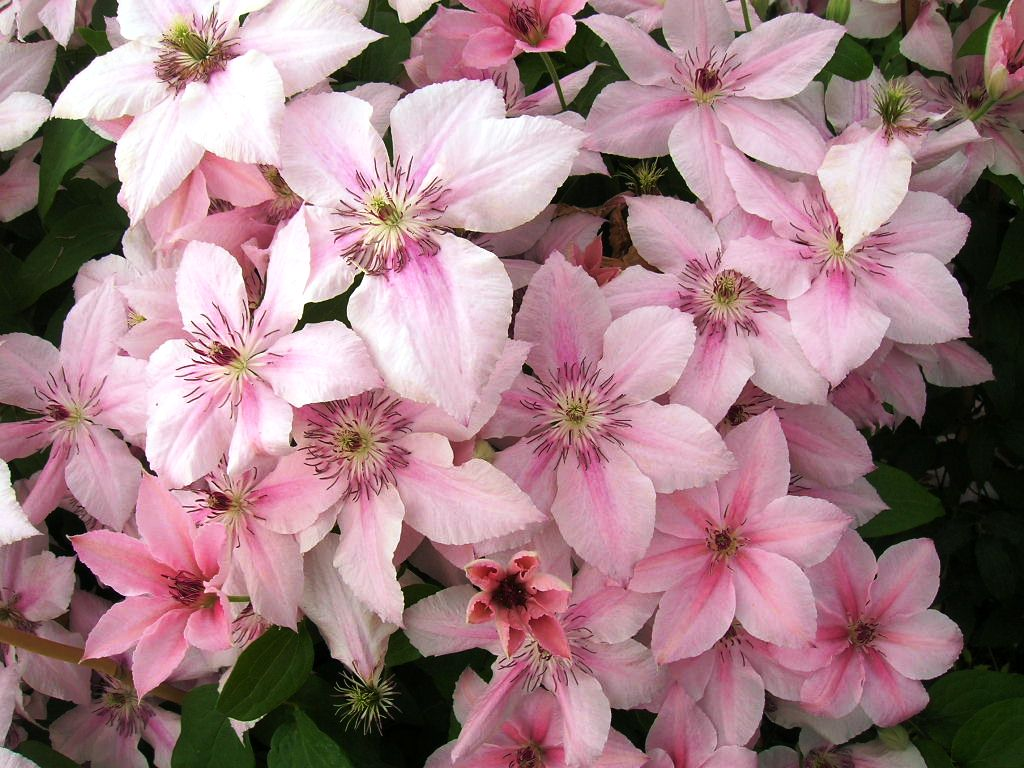 PHOTO OF GIRLS WHO DREAM OF A GUY ON CLEMATIS