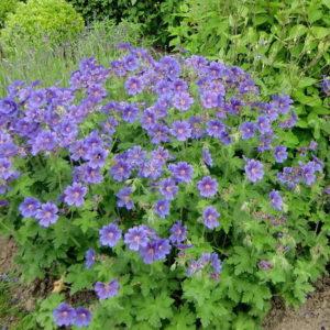 Герань гималайская Беби Блю <br>Geranium himalayense Baby Blue