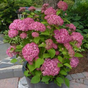 Гортензия древовидная Пинк Анабель <br>Hydrangea arborescens Pink Anabelle