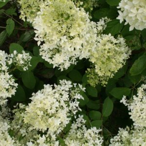 Гортензия метельчатая Дентель де Горон <br>Hydrangea paniculata  Dentelle de Gorron