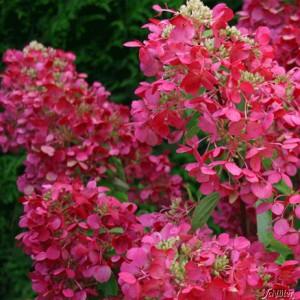 Гортензия метельчатая Даймонд Руж <br>Hydrangea paniculata Diamond Rouge