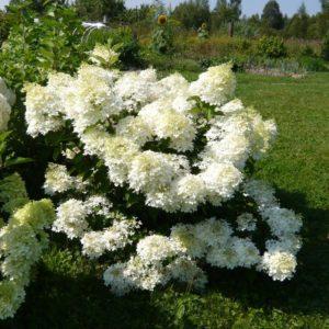 Гортензия метельчатая Фантом <br>Hydrangea paniculata Phantom