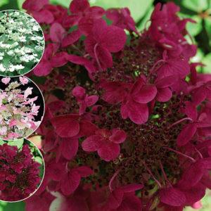 Гортензия метельчатая Вимс Рэд <br>Hydrangea paniculata Wim's Red
