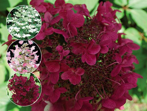 hydrangea paniculata. Black Bedroom Furniture Sets. Home Design Ideas