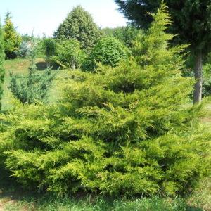 Можжевельник китайский Куривао Голд <br>Juniperus chinensis Kuriwao Gold
