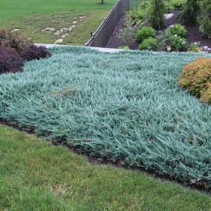 Можжевельник горизонтальный Блю Чип <br>Juniperus horizontalis Blue Chip