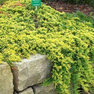 Можжевельник горизонтальный Голден Карпет <br>Juniperus horizontalis Golden Carpet