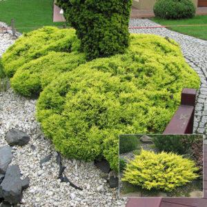 Можжевельник горизонтальный Лаймглоу <br>Juniperus horizontalis Limeglow