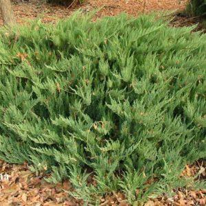 Можжевельник казацкий Тамарискфолия <br>Juniperus sabina Tamariscifolia