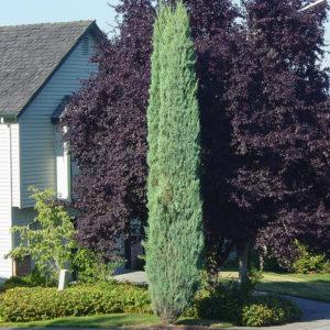 Можжевельник скальный Блю Арроу <br>Juniperus scopulorum Blue Arrow