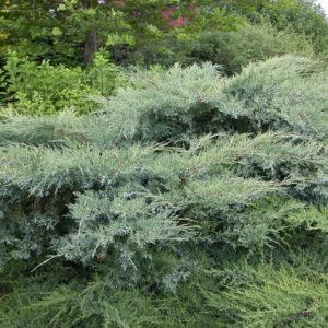 Можжевельник виргинский Грей Оул <br>Juniperus virginiana Grey Owl