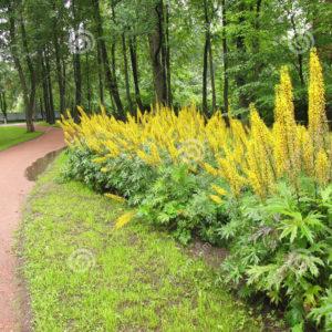 Бузульник пржевальского <br>Ligularia przewalskii