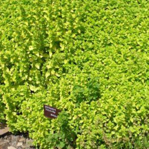 Душица Ауреум <br>Origanum vulgare Аureum