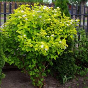 Пузыреплодник Дартс Голд <br>Physocarpus opulifolius Dart's Gold