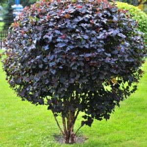 Пузыреплодник Диабло <br>Physocarpus opulifolius Diabolo