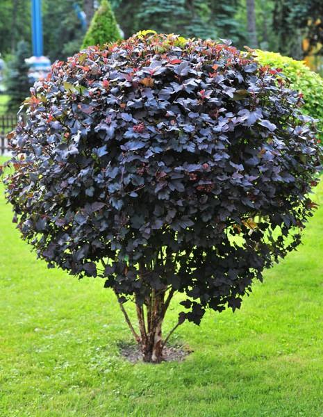 physocarpus opulifolius diabolo. Black Bedroom Furniture Sets. Home Design Ideas
