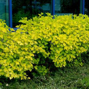 Пузыреплодник Лютеус <br>Physocarpus opulifolius Luteus