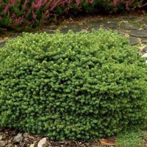 Ель обыкновенная Литл Джем <br>Picea abies Little Gem