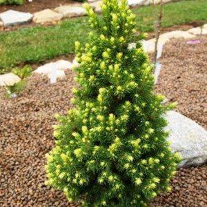 Ель сизая (канадская) Райнбоус Энд <br>Picea glauca Rainbow's End
