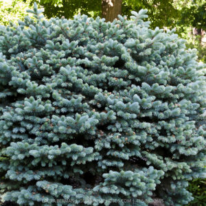 Ель колючая Глаука Глобоза <br>Picea pungens Glauca Globosa