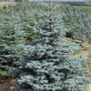 Ель колючая Глаука Супер Блю <br>Picea pungens Glauca Super Blue
