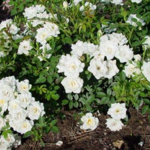 Роза бордюрная Вайт Фейри <br>Rose White Fairy