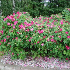 Rosa rugosa Rubrum