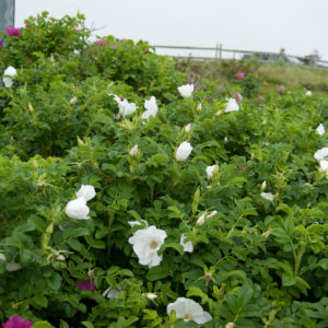 Роза ругоза Вайт <br>Rose rugosa White