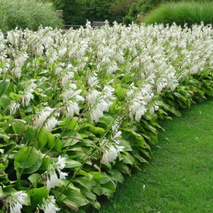 Хоста Роял Стандарт <br>Hosta Royal Standard