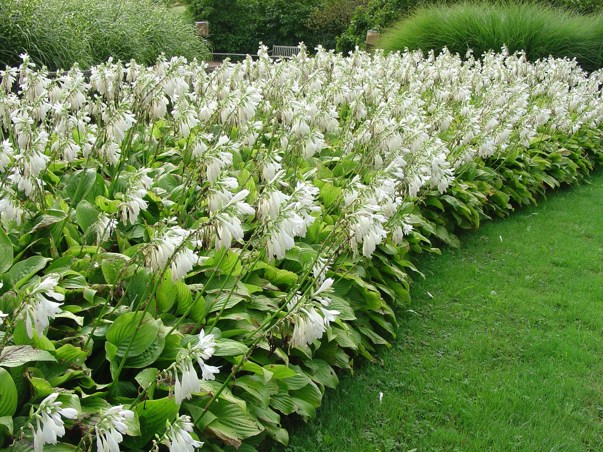Хосты с белыми цветами сорта
