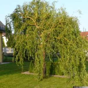 Ива извилистая <br>Salix Erythroflexuosa