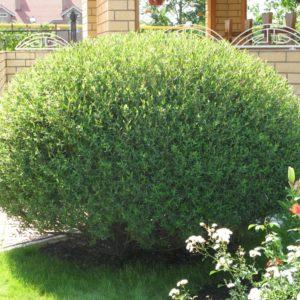 Ива пурпурная Нана <br>Salix purpurea Nana