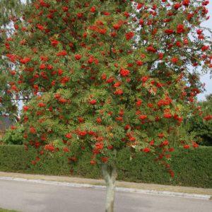 Рябина обыкновенная <br>Sorbus aucuparia