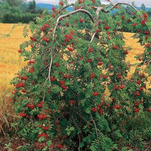 Рябина плакучая <br>Sorbus aucuparia Pendula