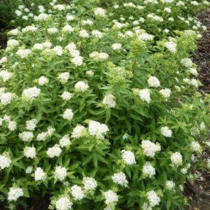 Спирея японская Альбифлора <br>Spiraea japonica Albiflora